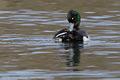Tufted Duck x Greater Scaup