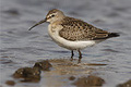 Curlew Sandpiper Copyright Rich Andrews