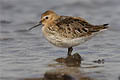 Dunlin